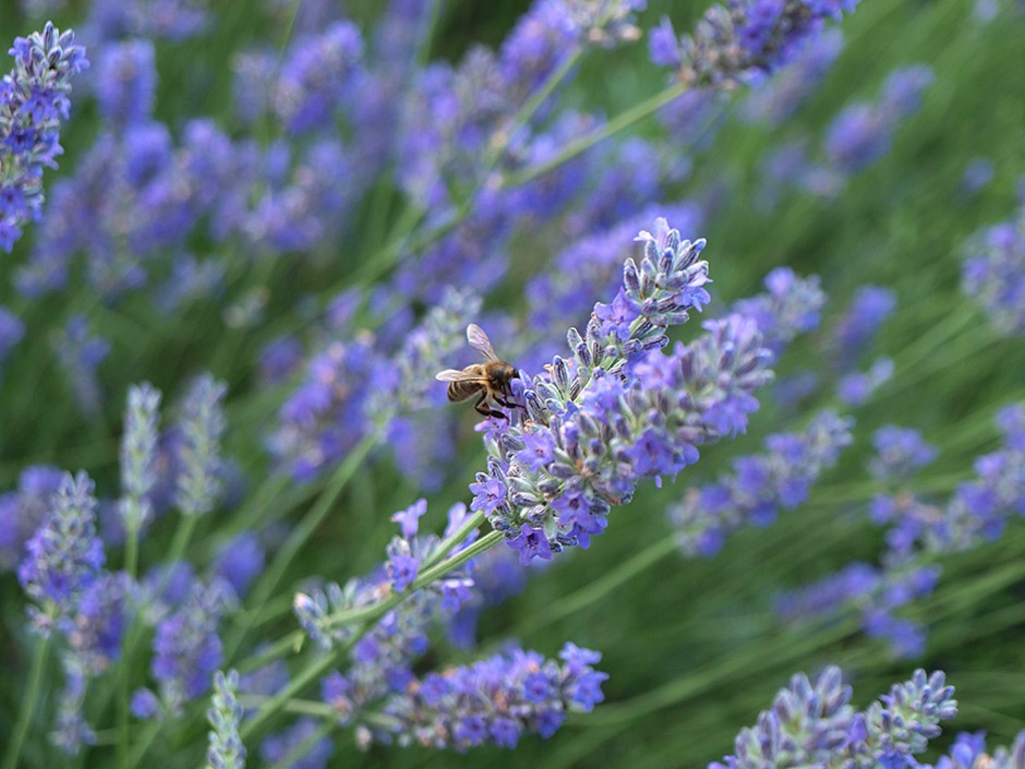 Bee at the Lavenders of the Hostal Nou de Crespià